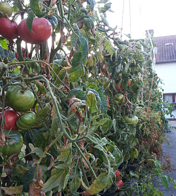 tomaten in pot aan tuinpad